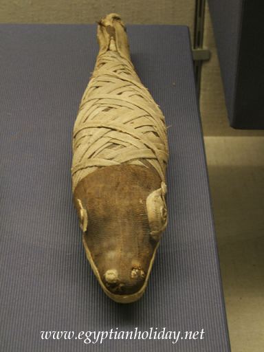 mummified crocodile
